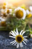 Medical chamomile flower Stock Photo