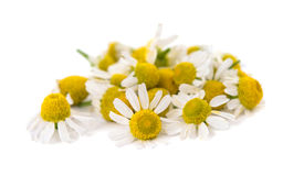 Medical Chamomile isolated Stock Photography
