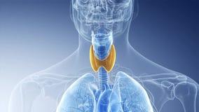 The human thyroid