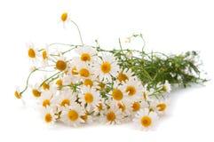 Medical daisy Stock Photography