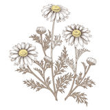 Medical daisy flower. Illustration of medical herbs.  object daisy flower on a white background. Vector. Chamomile Royalty Free Stock Photography