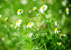 Medical daisy Stock Images