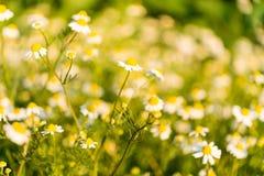 Medical daisy growing Stock Photos