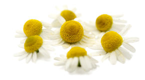 Medical daisy isolated Royalty Free Stock Image