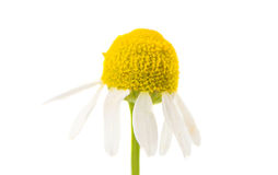 Medical daisy isolated Royalty Free Stock Photo