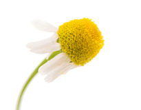 Medical daisy isolated Royalty Free Stock Photography