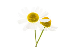 Medical daisy isolated Stock Image