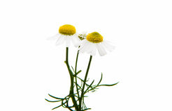 Medical daisy isolated Stock Images