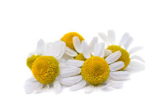 Medical daisy Royalty Free Stock Photo