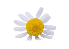 Medical daisy Stock Photo