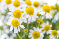 Medical daisy. On a white background stock image