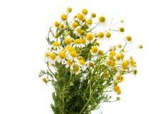 Medical daisy Royalty Free Stock Photography