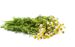Medical daisy Stock Photo