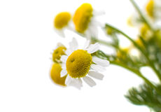 Medical daisy Royalty Free Stock Image
