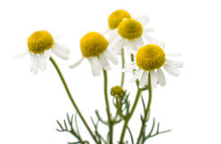 Medical daisy Royalty Free Stock Photography