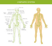 Medical description of the lymphatic system Stock Image