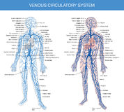 Medical description of the venous system of blood Stock Image