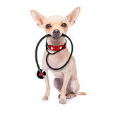 Medical doctor dog. Chihuahua dog as a medical veterinary doctor with stethoscope, on white background stock image