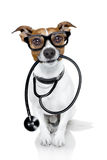 Medical doctor dog. Jack russell dog as a medical veterinary doctor with stethoscope with glasses, on white background royalty free stock photo