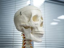 medical dummies, skeleton, skull, organs, brain, arm stock photography