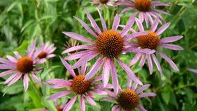 Medical (Echinacea purpurea)  flowers in summer garden stock video footage