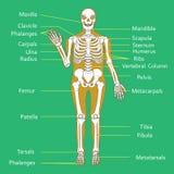 Medical Education Chart of Biology for Human Skeleton Diagram. Vector illustration Royalty Free Stock Photos