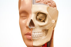 Medical face. Face of medical dummy over white Royalty Free Stock Photo