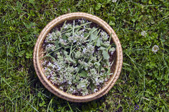 Medical fresh lemon balm flowers in wicker basket on  garden grass Royalty Free Stock Photos