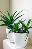 Medical herb aloe vera in pots on bathroom shelf Royalty Free Stock Photo