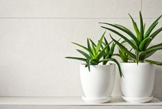 Medical herb aloe vera in pots on bathroom shelf