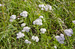 Medical herb Common Yarrow (Achillea Millefolium) Royalty Free Stock Images