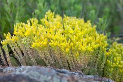 Medical herb sedum acre, goldmoss mossy stonecrop. Yellow flowers tufted perennial plant in the family Crassulaceae. Shallow depth field Stock Images