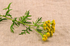 Medical herb tansy(Tanacetum vulgare) on cloth Royalty Free Stock Images
