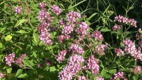 Medical herb wild marjoram oregano (Origanum vulgare) and bee stock footage