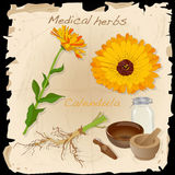 Medical herbs collection. Calendula. Royalty Free Stock Photo