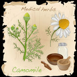 Medical herbs collection. Camomile. Royalty Free Stock Photography