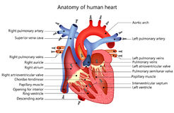 Medical human heart Stock Photography
