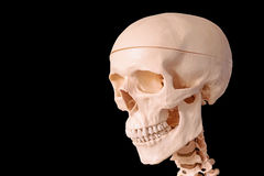 Medical human skull model, used for teaching anatomical science. Royalty Free Stock Images