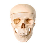 Medical human skull model, used for teaching anatomical science. Stock Photos