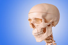 Medical human skull model, used for teaching anatomical science. Stock Photo