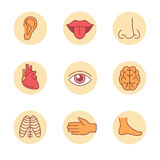 Medical icons, human organs and body parts. Medical icons thin line set. Human organs, senses, and body parts. Flat style color vector symbols isolated on white royalty free illustration