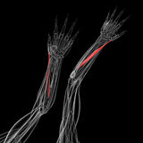 Medical illustration of the abductor pollicis longus. On dark background royalty free illustration