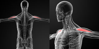 Medical illustration of the Anterior Deltoid Royalty Free Stock Image