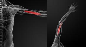 Medical  illustration of the  brachialis Royalty Free Stock Image