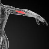 Medical  illustration of the Brachialis Royalty Free Stock Photos
