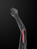 Medical  illustration of the brachialis Stock Images