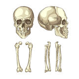 Medical illustration of the human skull and bones. Anatomically correct medical illustration of the human skull and bones Stock Image