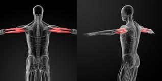 Medical illustration of the Triceps Brachii stock illustration