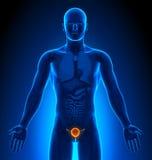 Medical Imaging - Male Organs - Bladder Royalty Free Stock Images