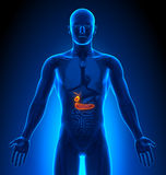 Medical Imaging - Male Organs - Gallbladder / Pancreas Stock Photos